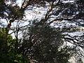 Melaleuca nodosa (3364762827).jpg