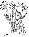Melampodium-leucanthum01