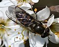 Melangyna lasiophthalma (female) - Flickr - S. Rae (1).jpg