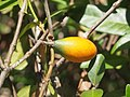 Melodinus australis fruit.jpg