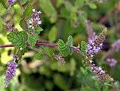 Mentha gattefossei - close-up 2 (aka).jpg