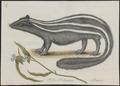 Mephitis mapurito - 1700-1880 - Print - Iconographia Zoologica - Special Collections University of Amsterdam - UBA01 IZ22500095.tif