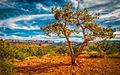 Mesa tree hdr.jpg