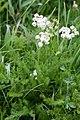 Meum athamanticum -4830 - Flickr - Ragnhild & Neil Crawford.jpg