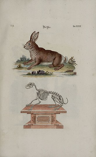 Rabbit - Hare Johann Daniel Meyer (1748)