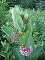Milkweed in Bloom.jpg