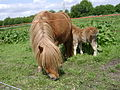 Mini pony mom and foal.jpg