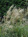 Miscanthus sinensis ja02.jpg