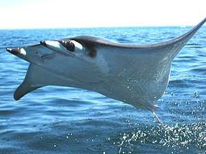 Breaching Mobula ray Schools of giant bat rays...