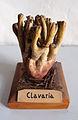Modell von Clavaria (Keulchen).jpg