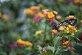 Monarch Butterfly - Danaus plexippus (5882298619).jpg