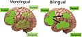 Monolingual vs. bilingual aging brain.jpg