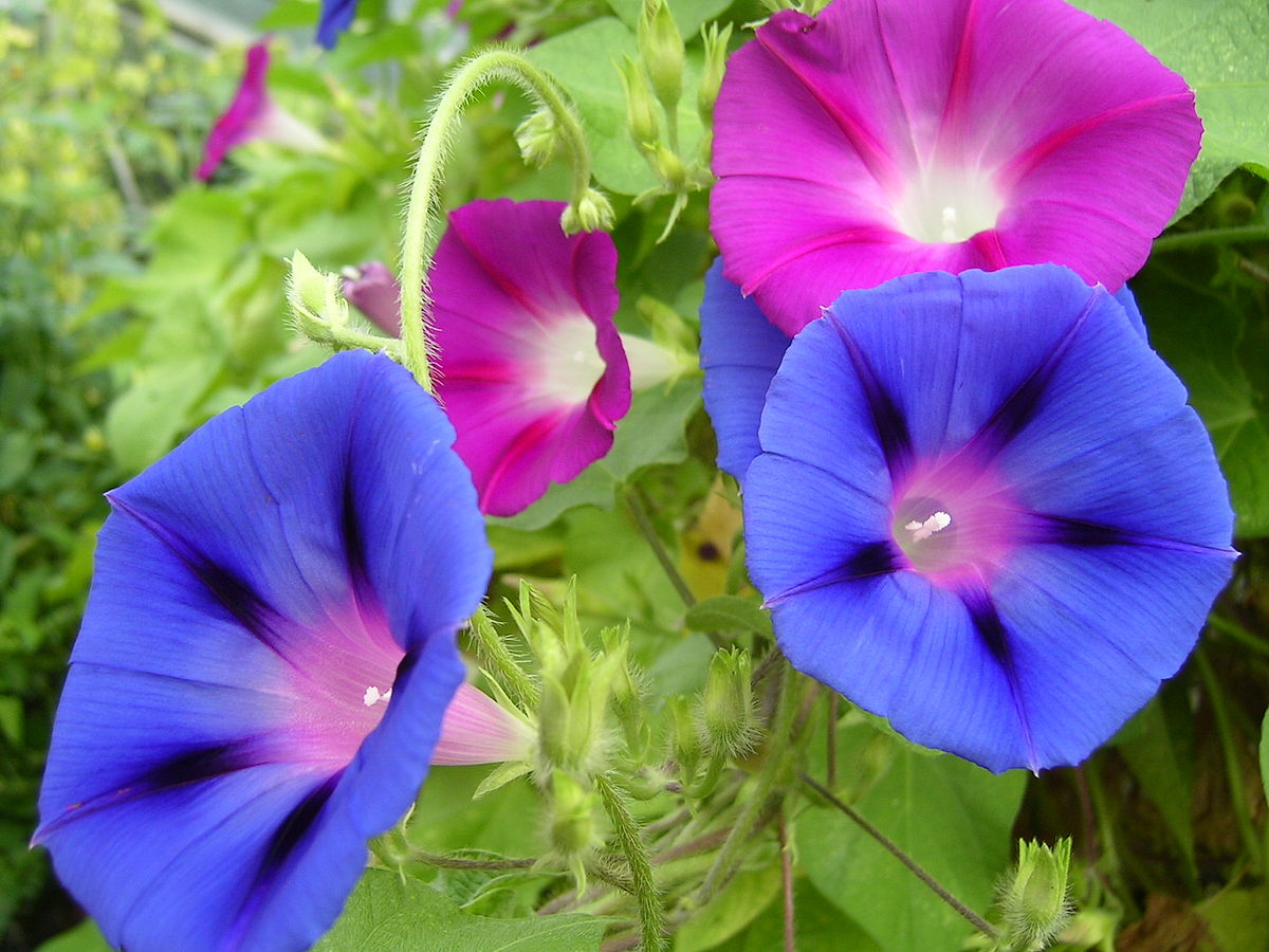 morning glory  wiktionary, Natural flower
