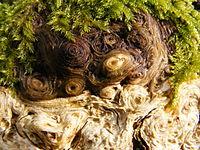 Morscher Baumstumpf - Fasern (Makro).JPG