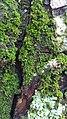 Moss on pine tree 2.jpg