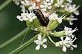 Moth caterpillar (Depressaria daucella).jpg