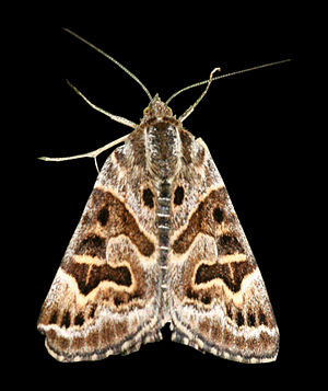 Mother Shipton - Mother Shipton moth