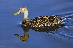 Mottled Duck at Bailey Tract Pond.jpg