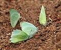 Mottled Emigrant (Catopsilia pyranthe) mud-puddling W IMG 9356.jpg