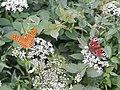 Motyle Rudawski Park Krajobrazowy AL01.jpg