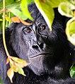 Mountain Gorilla, Uganda (30834945345).jpg