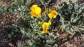 Mountain poppies.jpg