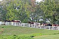 Moving the Riding Horses to the Paddocks for the evening at the Kentucky Horse park (7998157706).jpg