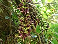 Mucuna macrocarpa Tenerife Botanical Garden 1.jpg