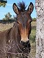 Mule (1).jpg