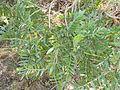 Mundulea sericea, loof, Bronberg, a.jpg
