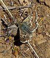 Muschampia proto - Flickr - gailhampshire.jpg