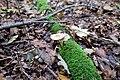 Mycena galericulata (Rosablättriger Helmling).jpg