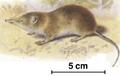 Myosorex varius.png