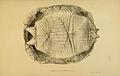 N94 Sowerby & Lear 1872 (geochelone sulcata).jpg