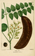 NAS-050 Gymnocladus dioicus.png