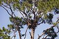 NASA Kennedy Wildlife - Bald Eagle in its nest.jpg