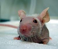 Лысая декоративная мышь