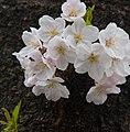 Nakameguro 2009-04-05 (3449272296).jpg