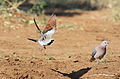 Namaqua dove, Oena capensis, at Mapungubwe National Park, Limpopo, South Africa (17468564163).jpg