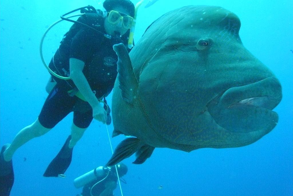 File:Napoleon fish, Blue Corner, Palau.jpg - Wikimedia Commons