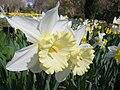 Narcissus (Las Vegas cultivar), Real Jardín Botánico, Madrid.jpg