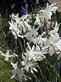 Narcissus Thalia 03.jpg