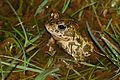 Natterjack Toad (Epidalea calamita) male (16804281035).jpg