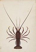 Naturalis Biodiversity Center - RMNH.ART.68 - Panulirus japonicus - Kawahara Keiga - 1823 - 1829 - Siebold Collection - pencil drawing - water colour.jpeg