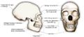 Neanderthaler schaedel.png