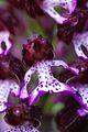 Nella bocca dell'orchidea.jpg