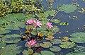 Nelumbo nucifera, Lotus at Jahangirnagar University lakes.jpg