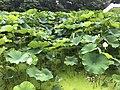 Nelumbo nucifera in north moat of Fukuoka Castle 19.jpg
