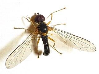 Pipunculinae Subfamily of flies