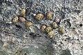 Nerita versicolor (four-toothed nerite snails) in a rocky shore intertidal zone (San Salvador Island, Bahamas) 10 (16014877602).jpg